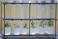 Plants in vitro de lavande - (Photo : Crieppam)